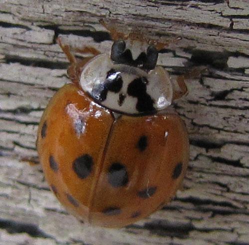 Ladybug Beetle Sutton Massachusetts
