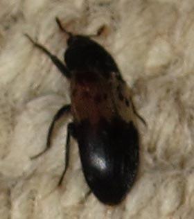 Carpet Beetle Black Brown Stripe Carpet Vidalondon
