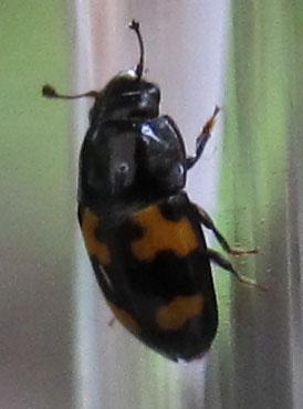 Sap Feeding Beetle