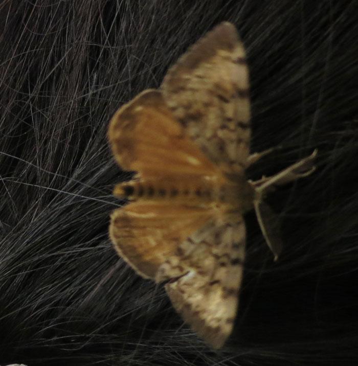 Gypsy Moth Moths In Sutton Massachusetts