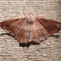 Large Maple Spanworm Moth