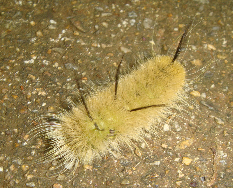 adult dagger moth