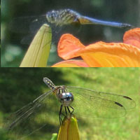 Blue Dasher