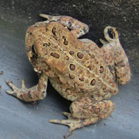 Frogs Toads In Sutton Massachusetts