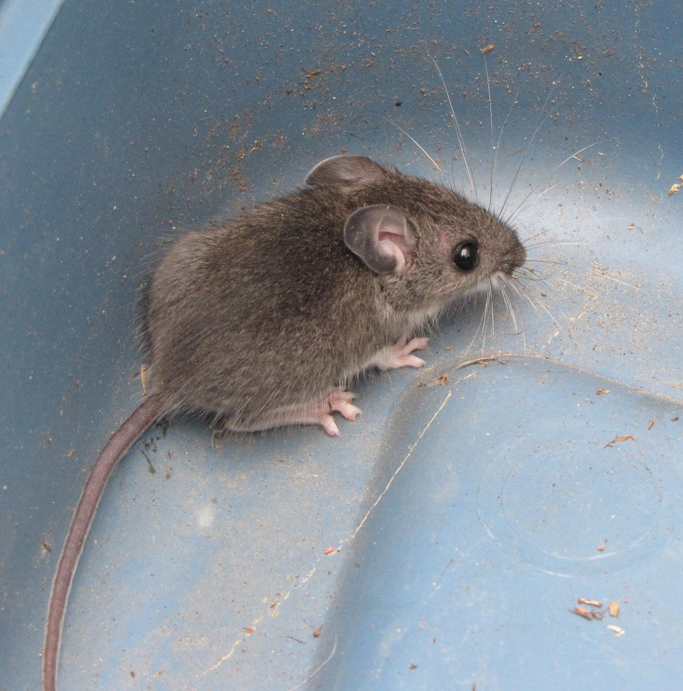 social barriers in of mice and