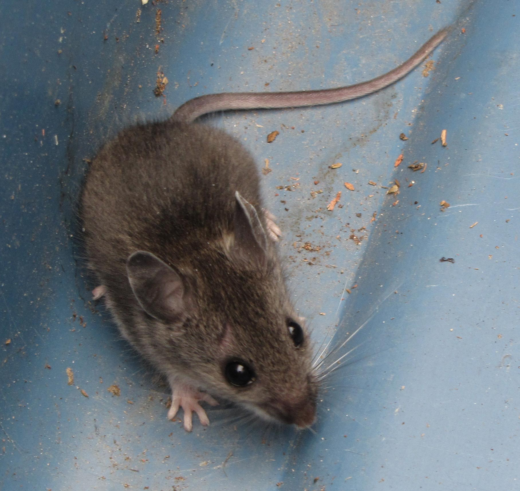 House mouse vs deer mouse images - House and home design