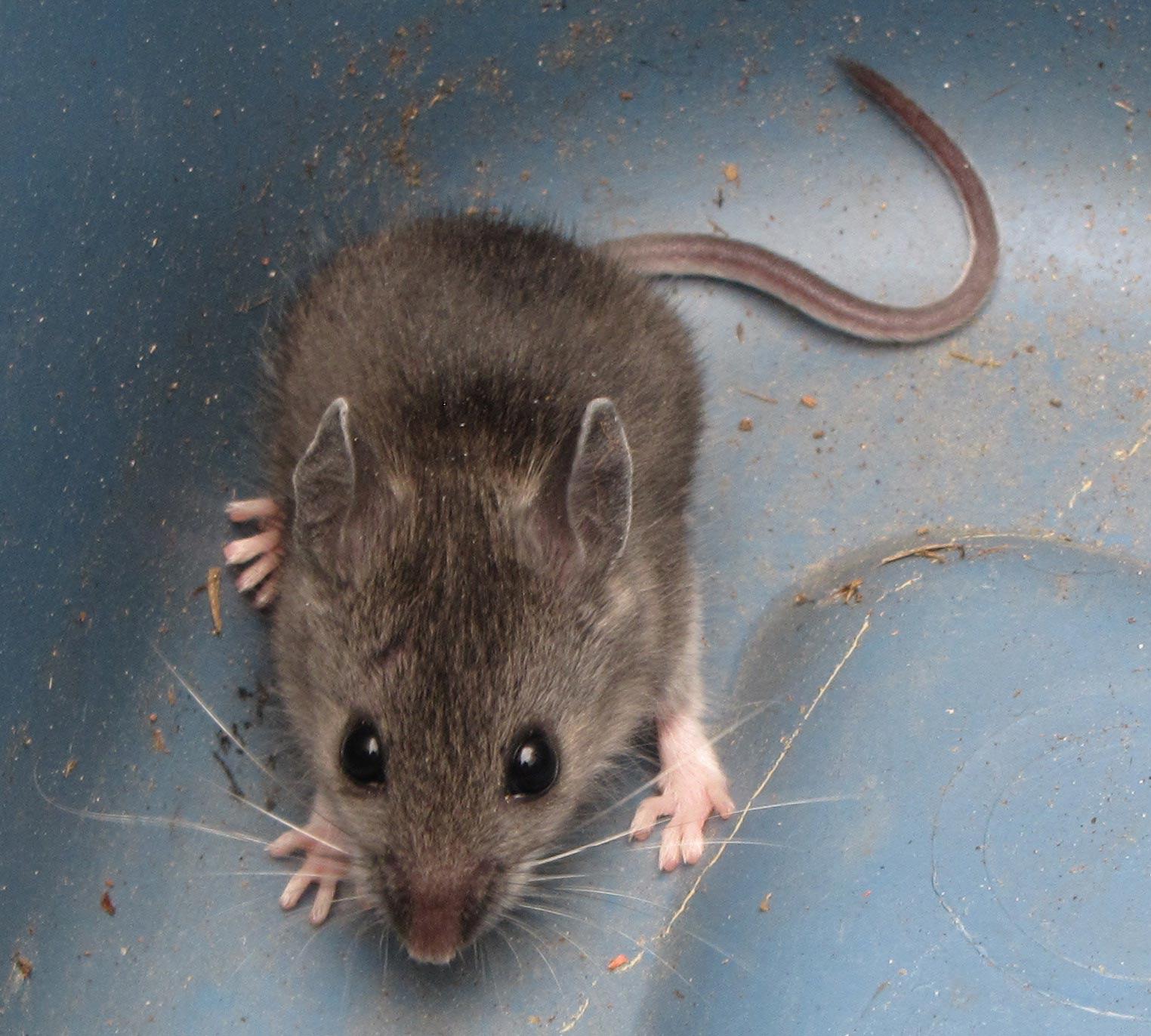 Deer Mouse in Sutton Massachusetts