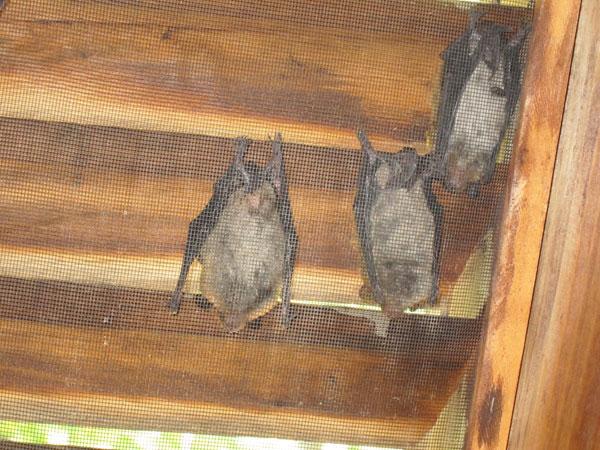 Little Brown Bat In Sutton Massachusetts