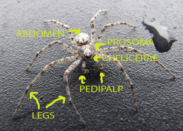 Spider Anatomy - Spiders in Sutton Massachusetts