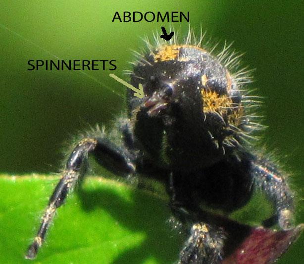 Spider Anatomy Spiders In Sutton Massachusetts