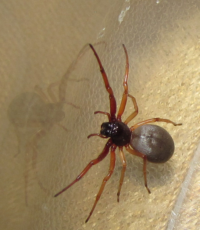 broad faced sac spider