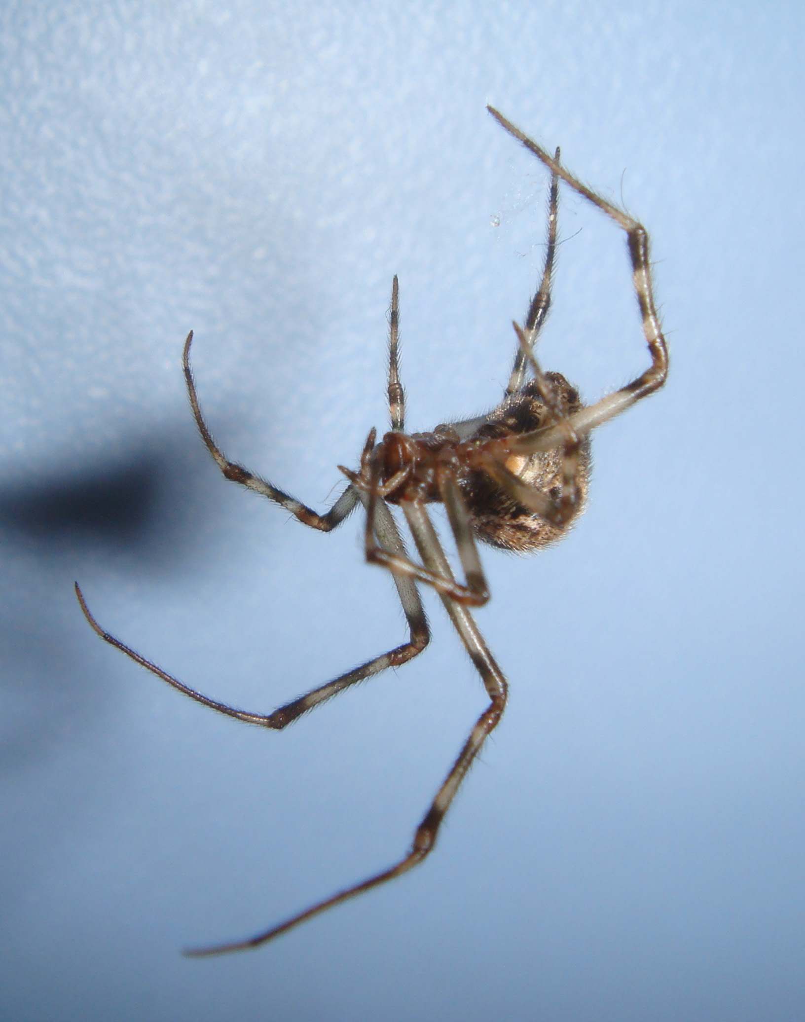 Common House Spider Spiders In Sutton Massachusetts