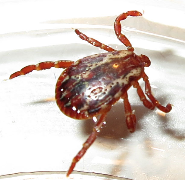 how to kill deer ticks in your house