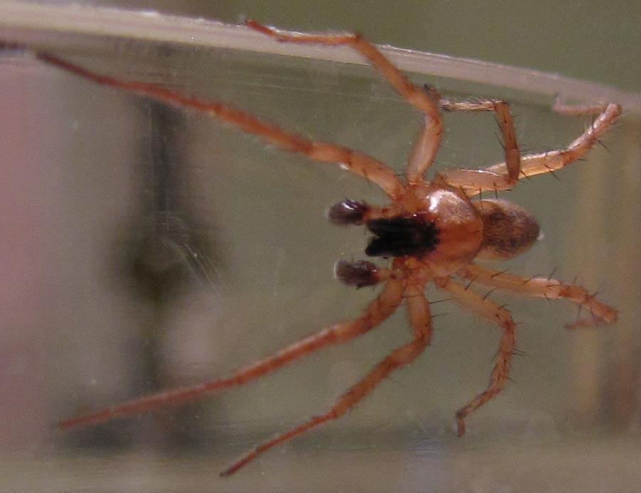 Long Legged Sac Spider Spiders In Sutton Massachusetts