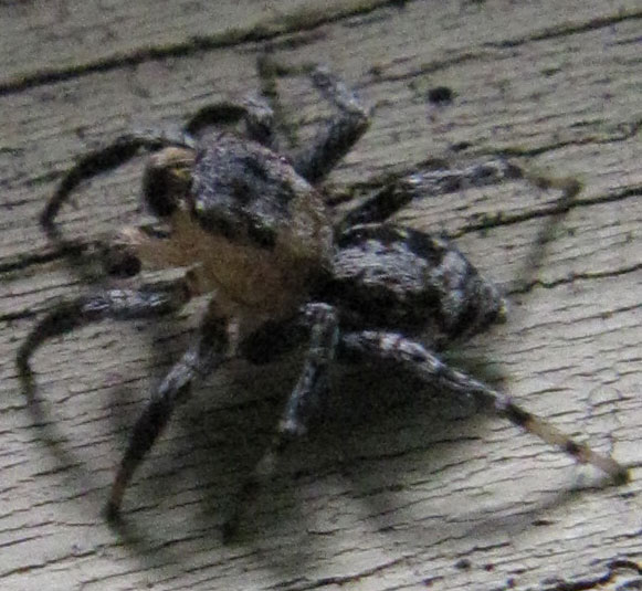 Naphrys Pulex Jumping Spider Spiders In Sutton Massachusetts
