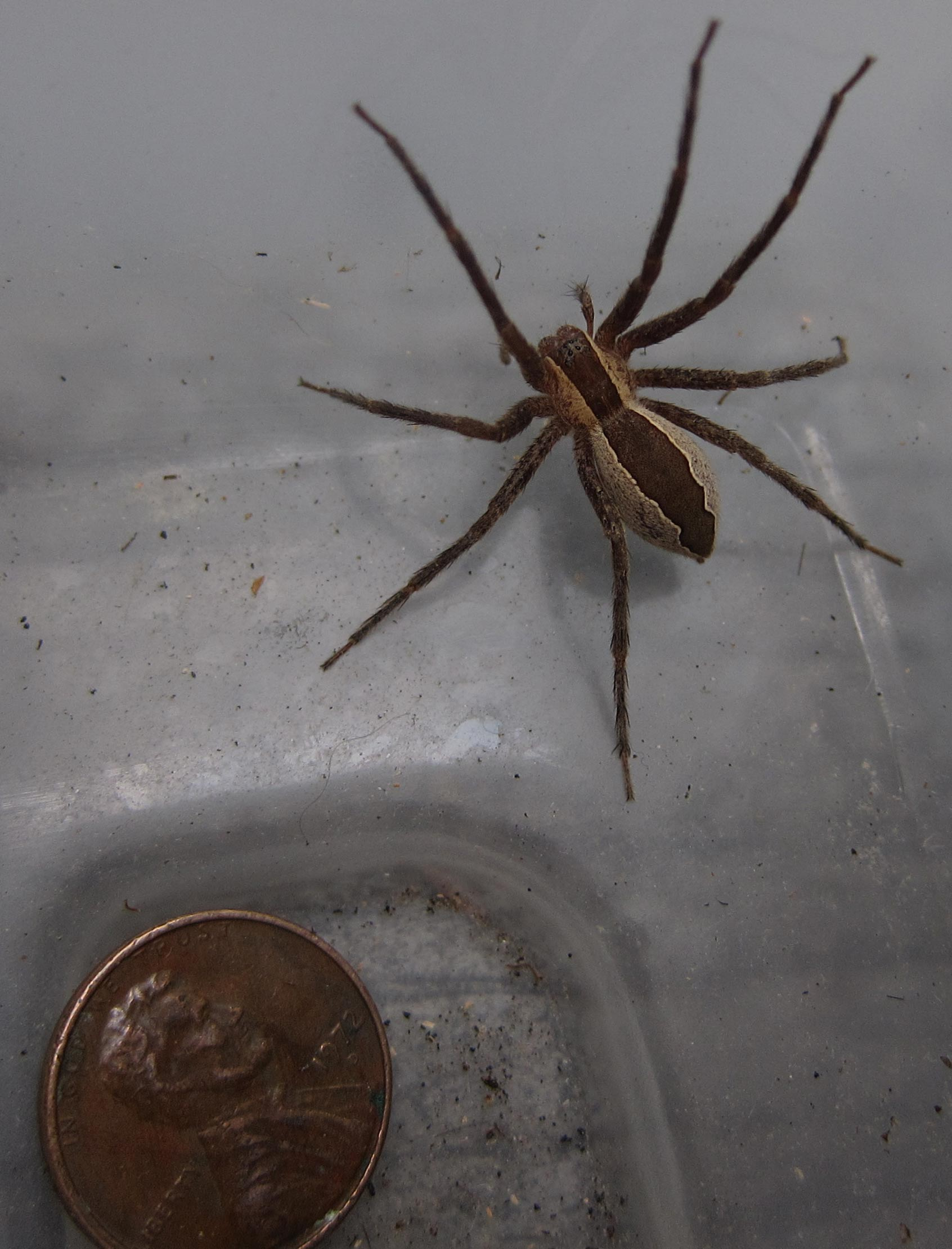 Spiders Of Cape Cod Part - 44: Nursery Web Spider