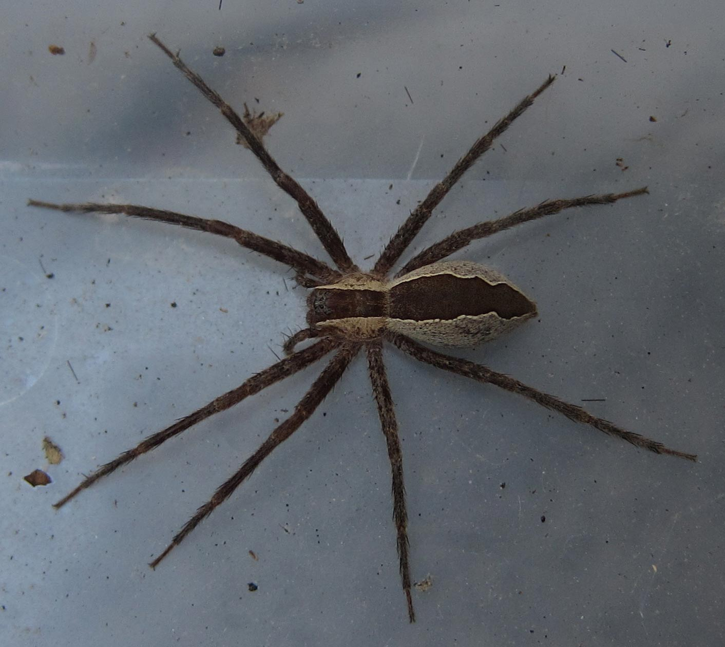 Spiders Of Cape Cod Part - 37: Nursery Web Spider