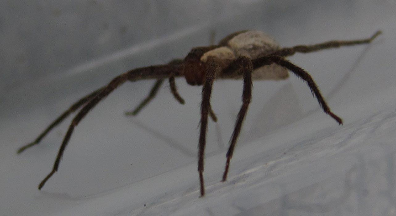 Nursery Web Spider Spiders In Sutton Massachusetts