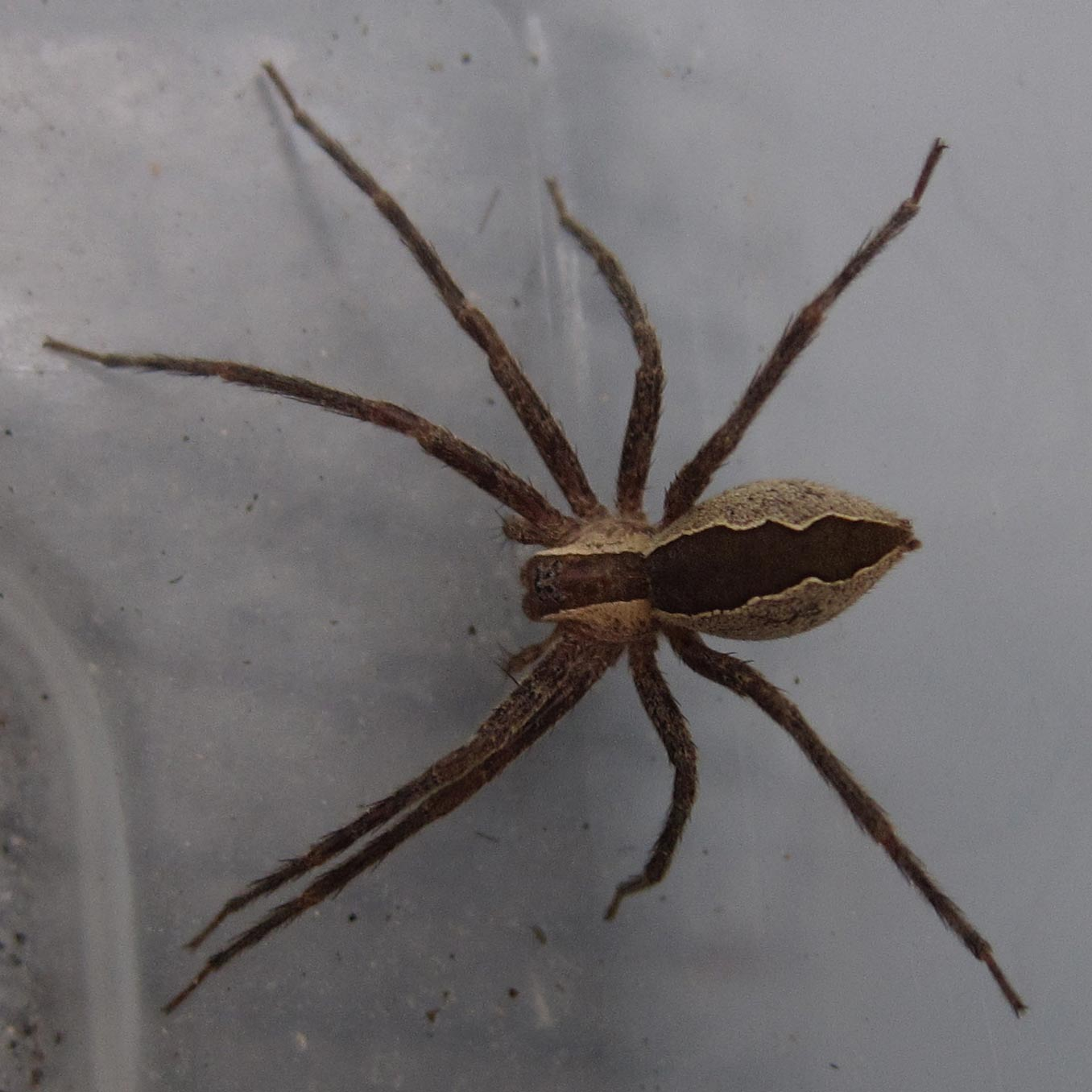 Spiders Of Cape Cod Part - 18: Nursery Web Spider