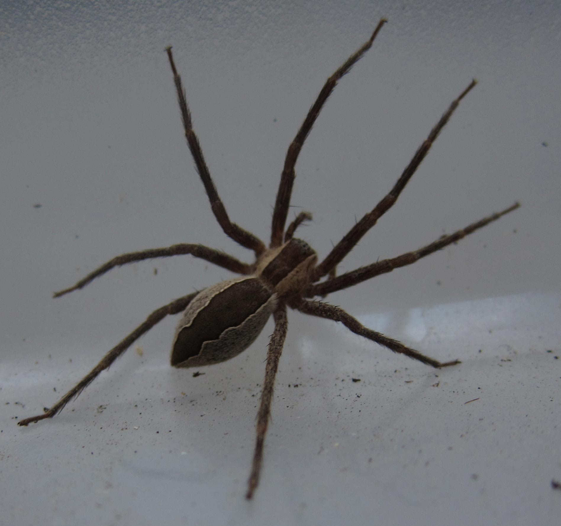 Spiders Of Cape Cod Part - 36: Nursery Web Spider