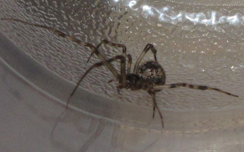 The Common House Spider