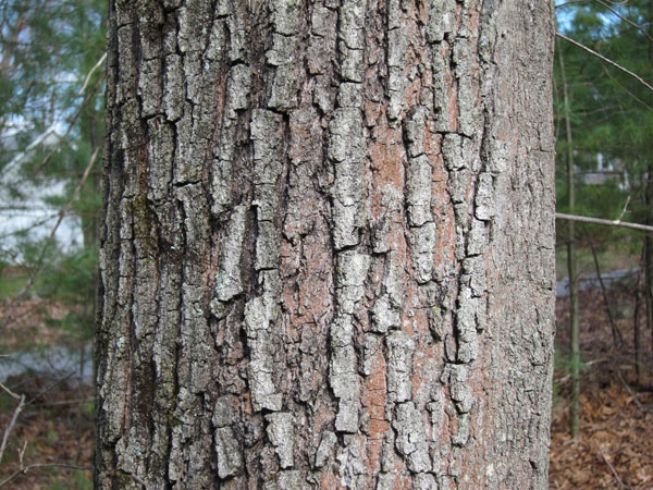 What does pine wood look like  qaanswerscom