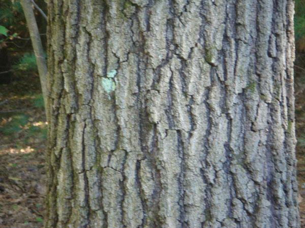 Red Oak Tree Bark - Tr...
