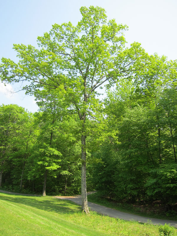 Red Oak Tree ~ Red oak tree bark trees of sutton massachusetts