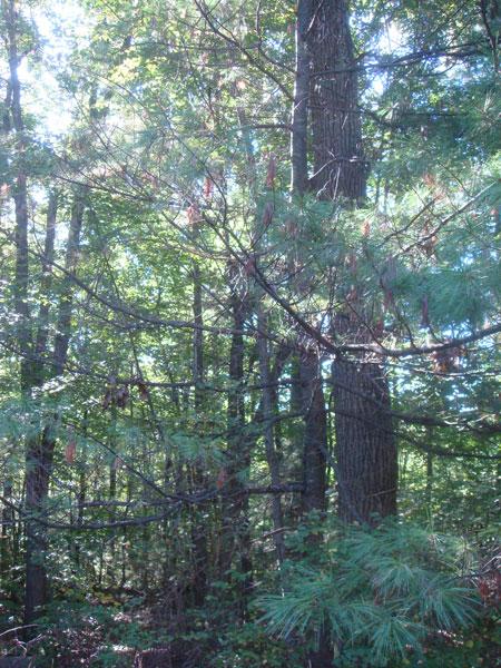Pine Trees Of Sutton Massachusetts