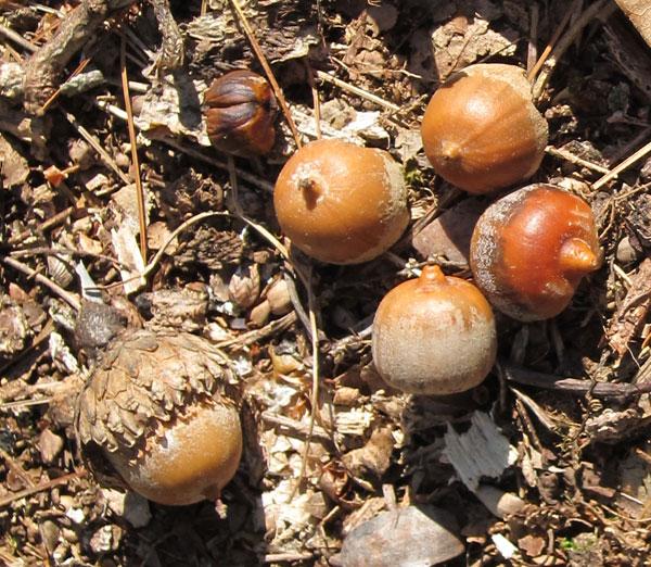 White oak tree acorns trees of sutton massachusetts