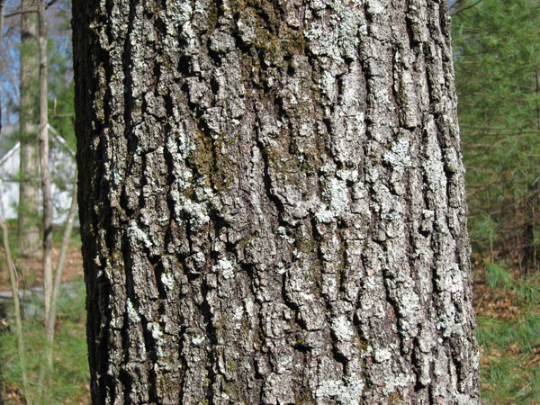 Auto Insurance Companies List >> White Oak Tree Bark - Trees of Sutton Massachusetts