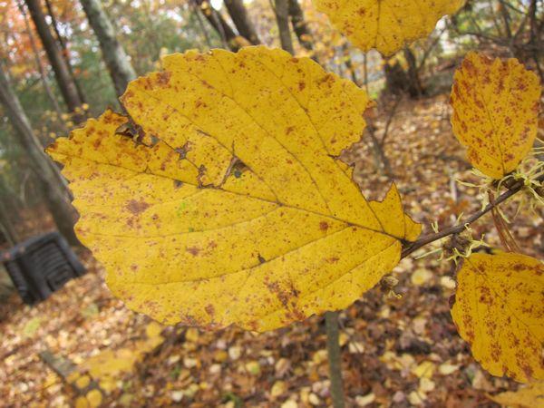 Witch Hazel Trees Of Sutton Massachusetts