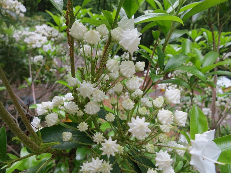 Mountain Laurel Plants Photos From Sutton Massachusetts
