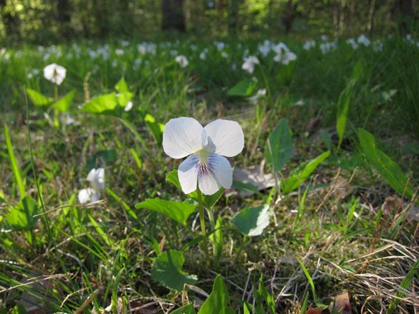 White Violet - Plants Photos from Sutton Massachusetts