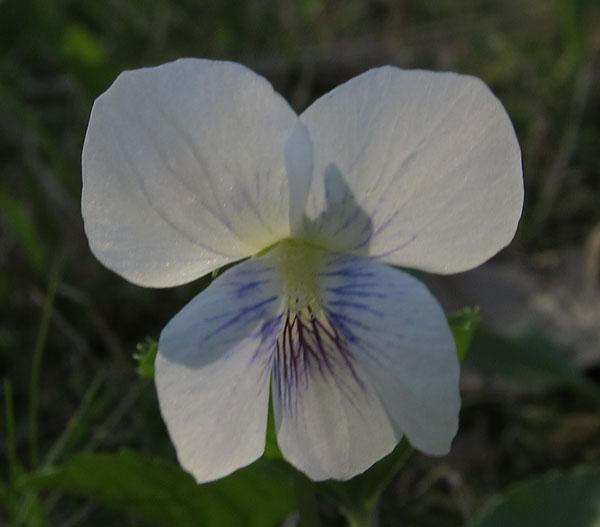 White Violet Plants Photos From Sutton Massachusetts